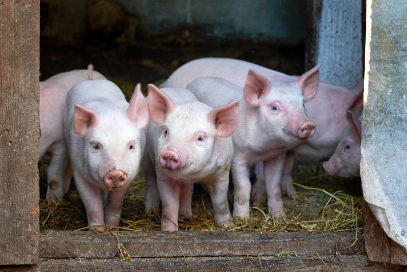 Piglets in sty: symbol picture for lignocellulose as crude fibre for breeding sows