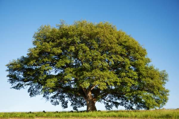 Big tree in summer: symbol image for improving carbon footprint